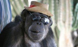 Cheeta-the-chimp-at-home--002